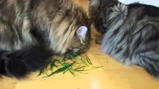 Сибирские коты едят траву