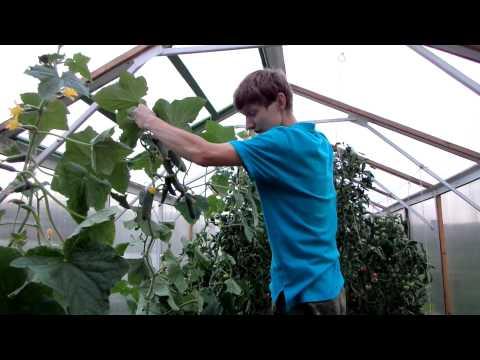 Выращивание ОГУРЦОВ в ТЕПЛИЦЕ. Как МАКСИМАЛЬНО продлить плодоношение ОГУРЦОВ. ОМОЛОЖЕНИЕ плетей