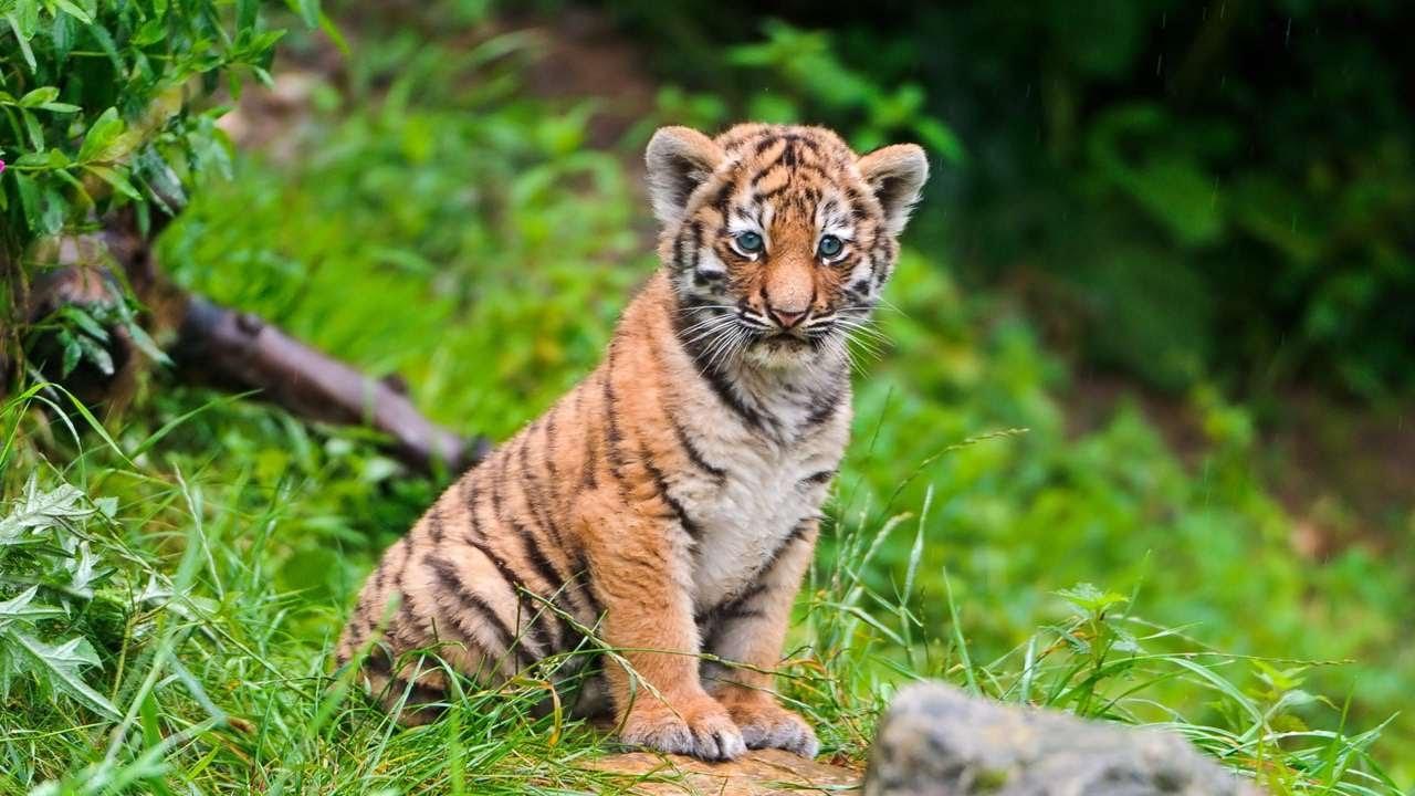 банкиры, красивые картинки маленьких тигрят повторить