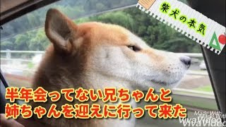 [Shiba Inu] Please see the seriousness of Shiba Inu who meets family after a long time.