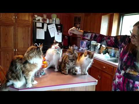 Medina County couple will show Maine Coon cats at Cat Fanciers