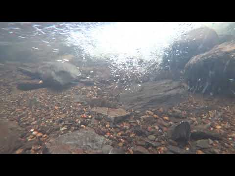 2017 Young Salmon in stream