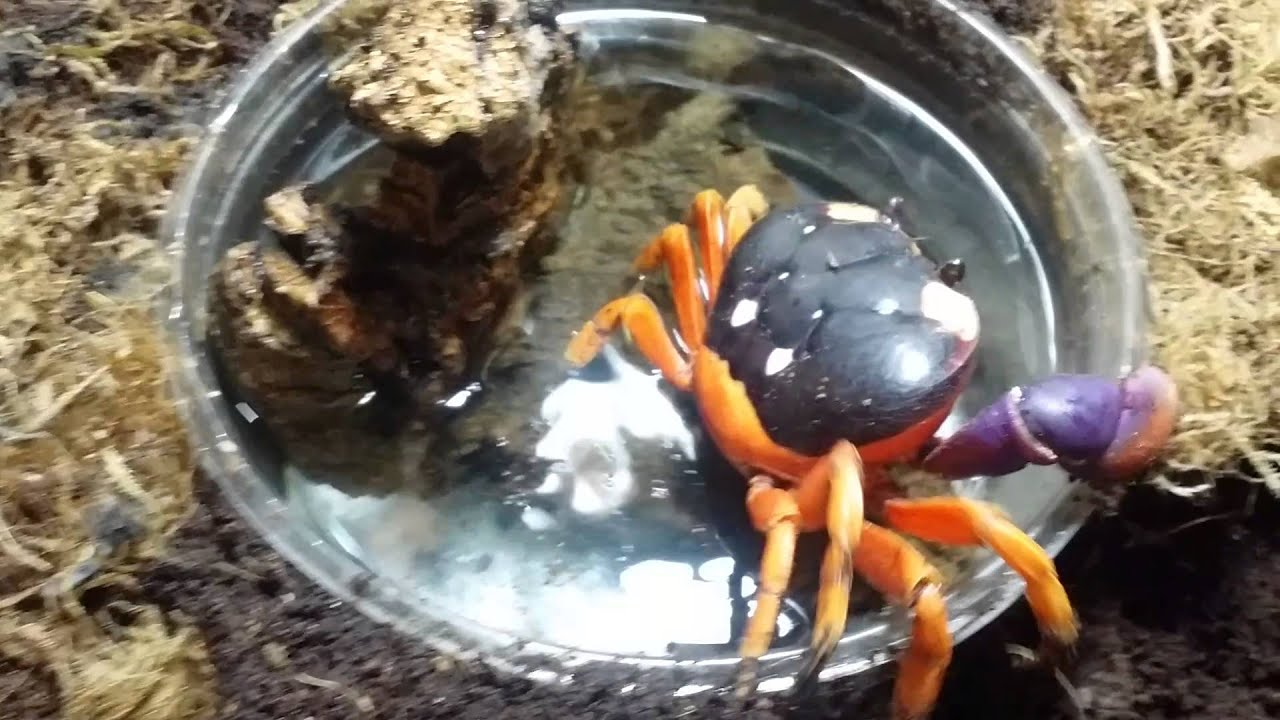 halloween moon crab setup. - youtube