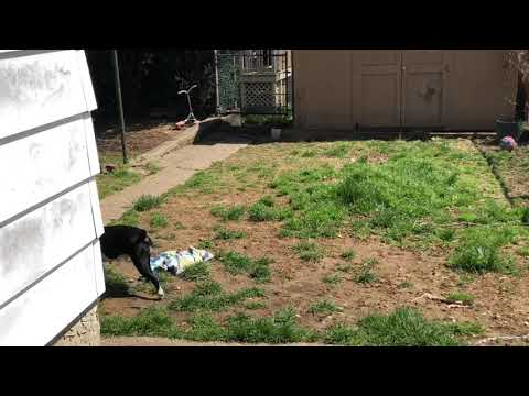 Boston Terrier play cam!!  400+ subscribers!