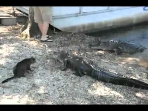 Video chuyện lạ  Mèo đuổi cá sấu xuống hồ   Phi thường   kỳ quặc