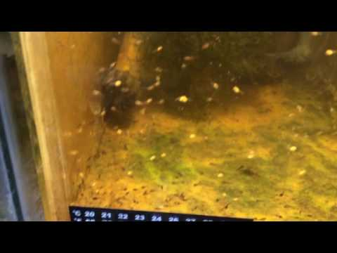 Angelfish Eggs/Fry Lessons Learned