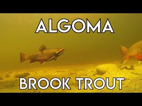Algoma Brook Trout