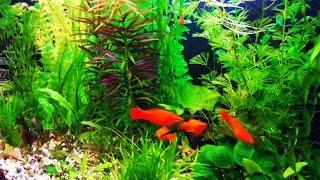 Домашний аквариум. Аквариумные рыбки и аквариумные растения