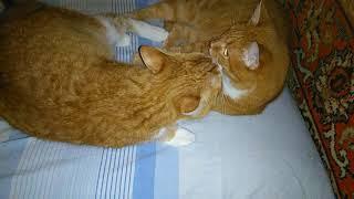 Рыжие коты - моя любовь!