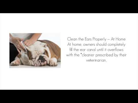 six-tips-for-treating-ear-infections-in-dogs-and-cats---what-to-do-if-your-dog-has-an-ear-infection