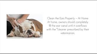 Six Tips For Treating Ear Infections In Dogs And Cats - What To Do If Your Dog Has An Ear Infection
