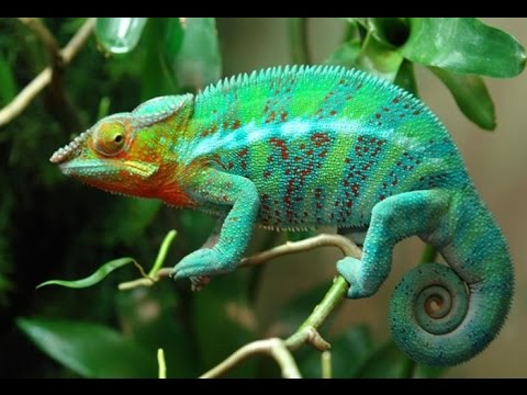 Chameleon Breeds, Panther Chameleon Facts, Ambilobe Panther ...