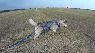 Гуляем с Хаски. Ездовая шлейка для собаки.