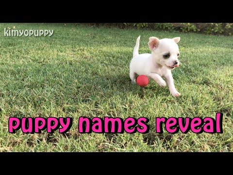4-week-old-chihuahua-puppies-playing!---kimyopuppy