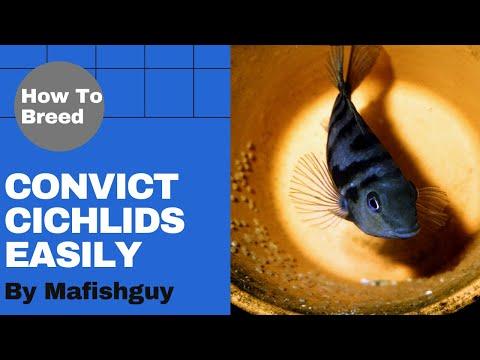 Convict Cichlid Babies - Breeding Convict Cichlids