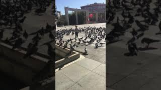 güvercin sevgisi beyazıt arasın