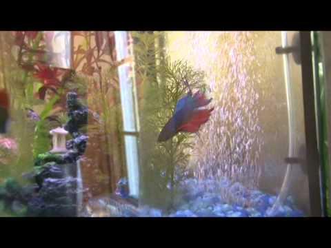 Betta Versus Dwarf Gourami In The Same Community Aquarium Tank