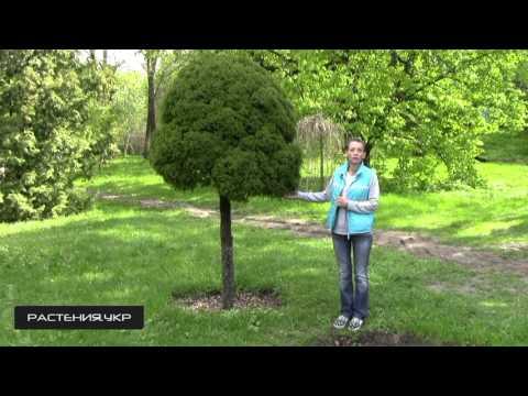 Эксклюзивные растения для сада martin сад для Вас