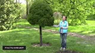 видео Ель глаука глобоза в ландшафтном дизайне фото