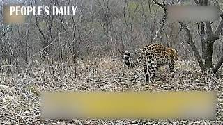 North Chinese Leopard is spotted by the surveillance camera in Ziwu Ridge, Shaanxi, China. 🐆