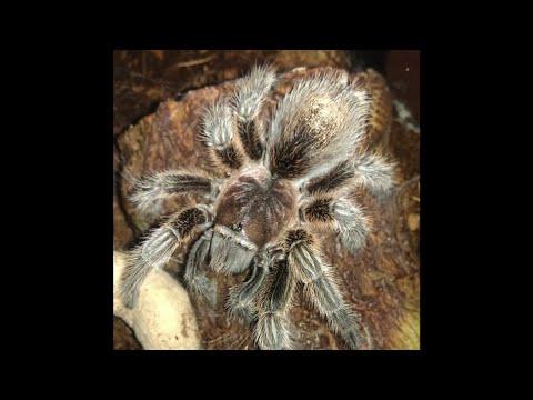 Rose hair tarantula molting