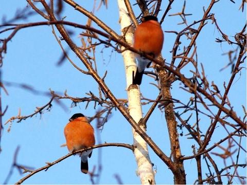 Птицы зимой снегири февраль 2017