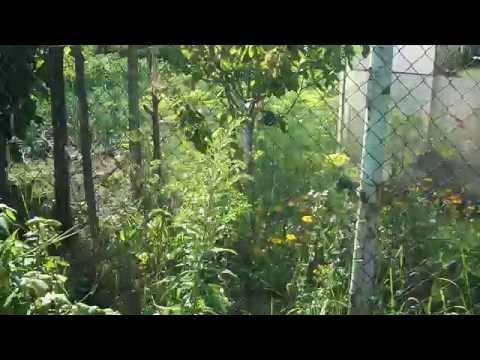 растет ли черешня в средней полосе и плодоношение