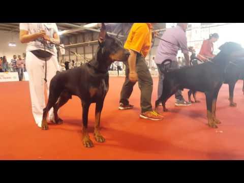 World Dog Show 2015 Dobermann Finals