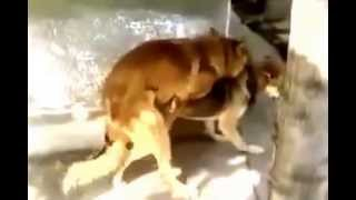 Dog Mating Doggystyle
