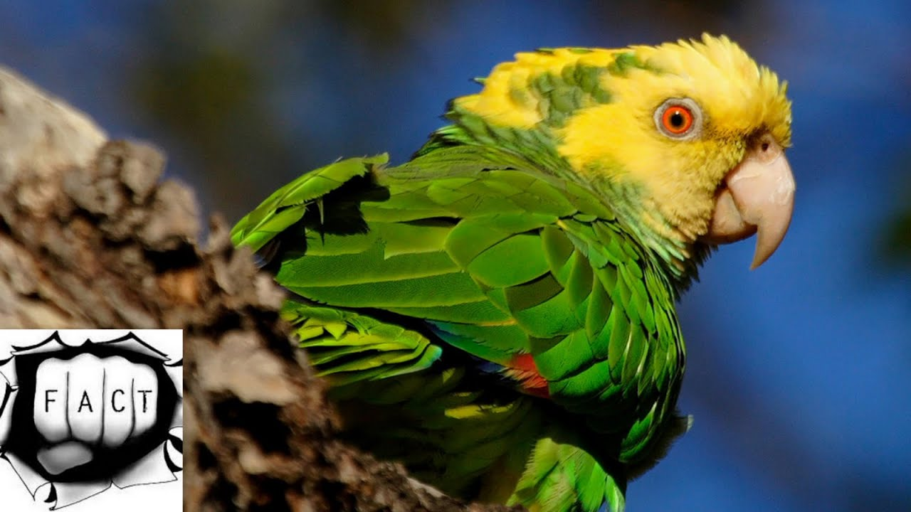 parrot top 5 sentence Interesting information about parrots check out our awesome range of animal  facts for kids and learn some fun trivia about our friends in the animal kingdom.