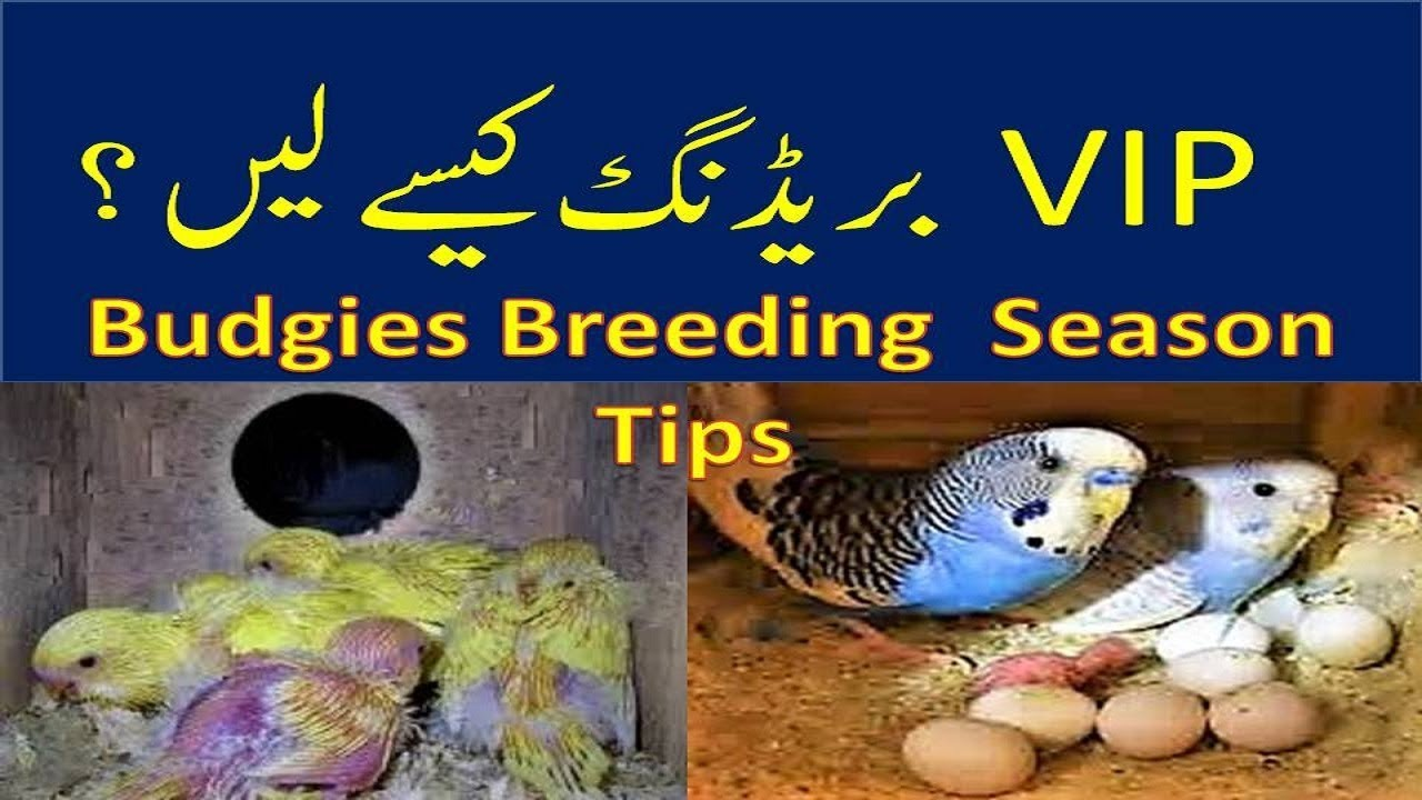 Budgies Breeding Season Tips | VIP Breeding Kese Lein?