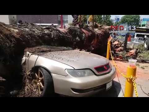 Árbol colapsa y aplasta automóvil en Morelia; hay una peatona herida