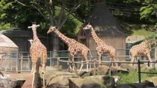 アフリカ園のサバンナ放飼場で過ごすキリン、グレービーシマウマ、シロ...