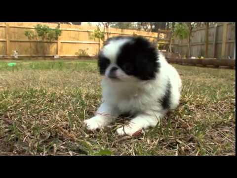 Dog Breeds - Japanese Chin. Dogs 101 Animal Planet