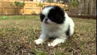 Dog Breeds  Japanese Chin. Dogs 101 Animal Planet