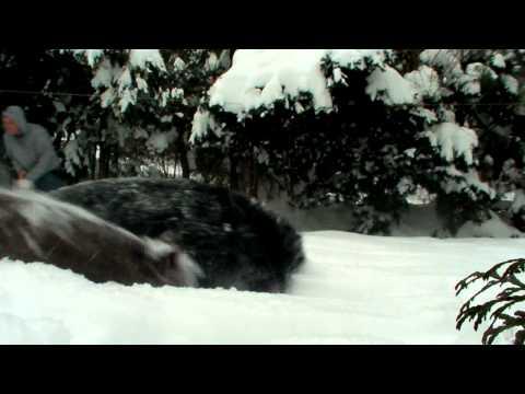 Pit Bull vs. Australian Shepherd