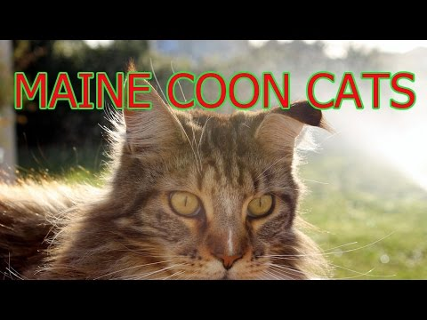Maine coon cats ★ AnyFuns Channel