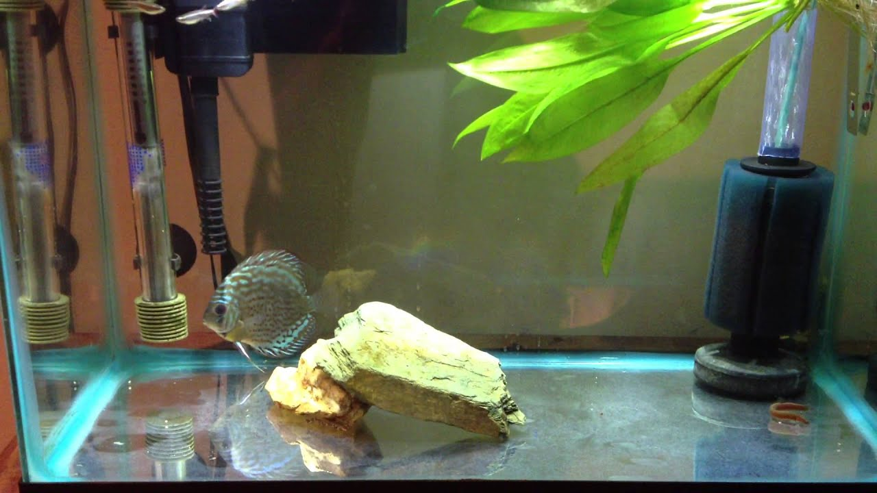Fish tank quarantine - Discus Quarantine Tank Post Medication In Main Tank 09 21 2013 Youtube