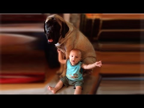 English Mastiff Dog Love and Playing with Baby Compilation