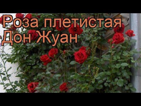 Роза плетистая Дон Жуан (rosa don don juan) 🌿 роза Дон Жуан обзор: как сажать саженцы розы Дон Жуан