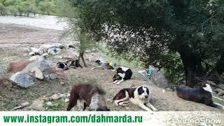 Нападение стаи саги дахмарда на собак проходящей отары