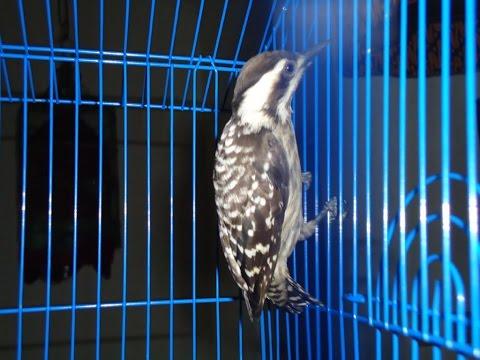 Suara Burung Pelatuk Sampit Ulam Gacor Nembak Rapet