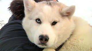 Щенок хаски - лучший подарок в год Собаки
