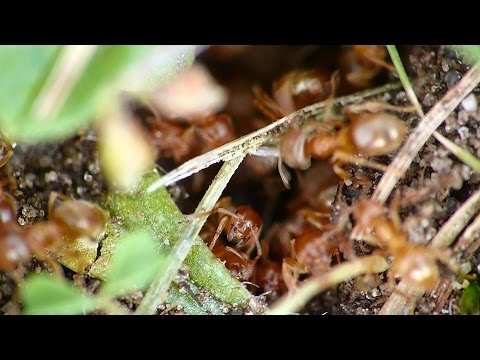 Ameisen im Ameisenbau