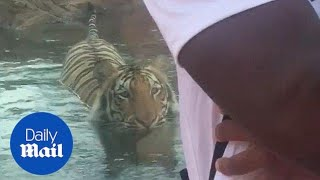 Hilarious moment tiger sneakily creeps up behind zoo visitors