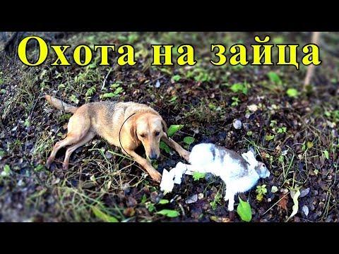 Охота на зайца с русской гончей. Отличный выход в поле. Рекомендуем к просмотру!
