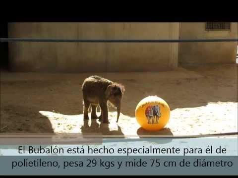 Buba, la cría de elefante del Zoo de Madrid, recibe su primer regalo