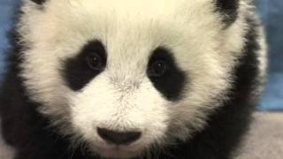 Download The Panda Song Mp3 and Videos