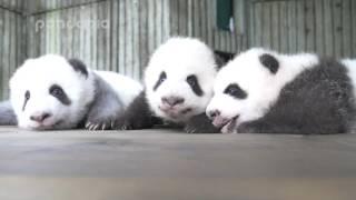 PPAP and panda