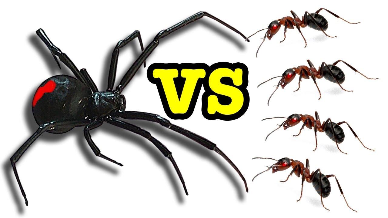 Killer Spider Vs Ants The Ultimate Educational Bug Battle Cannibal Spyro Kabylake
